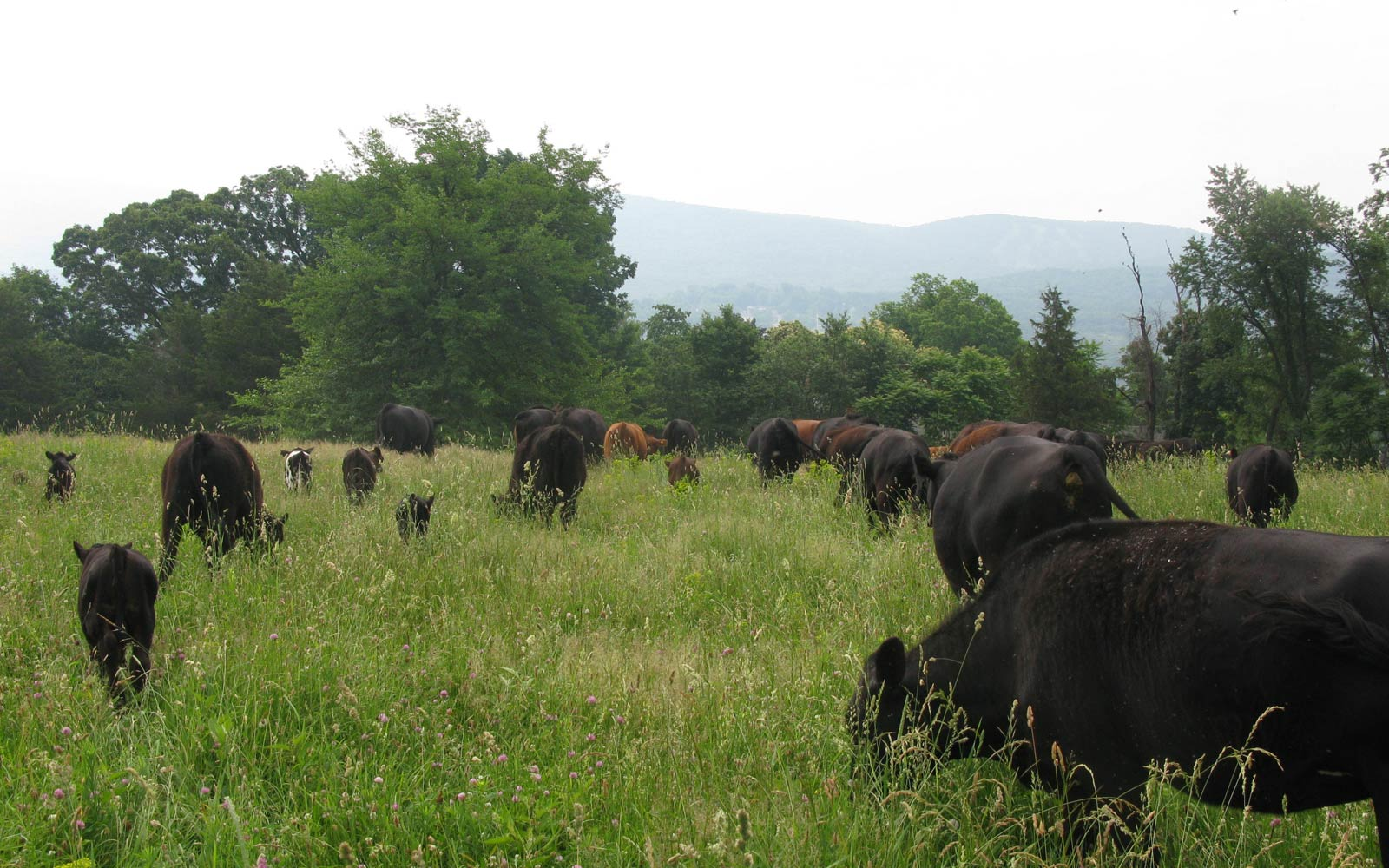 vernon valley farm - black and red cows grazing