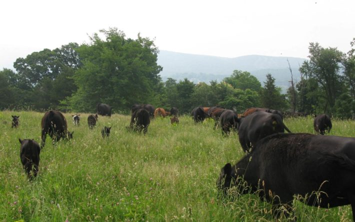 vernon valley farm – black and red cows grazing