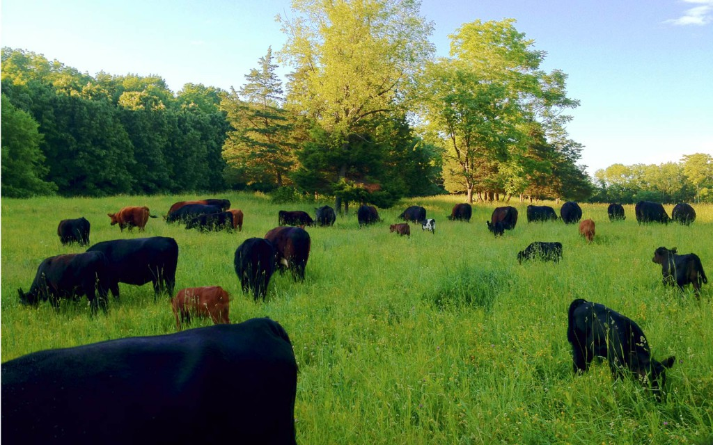 vernon valley farm - grass fed beef cattle grazing in field
