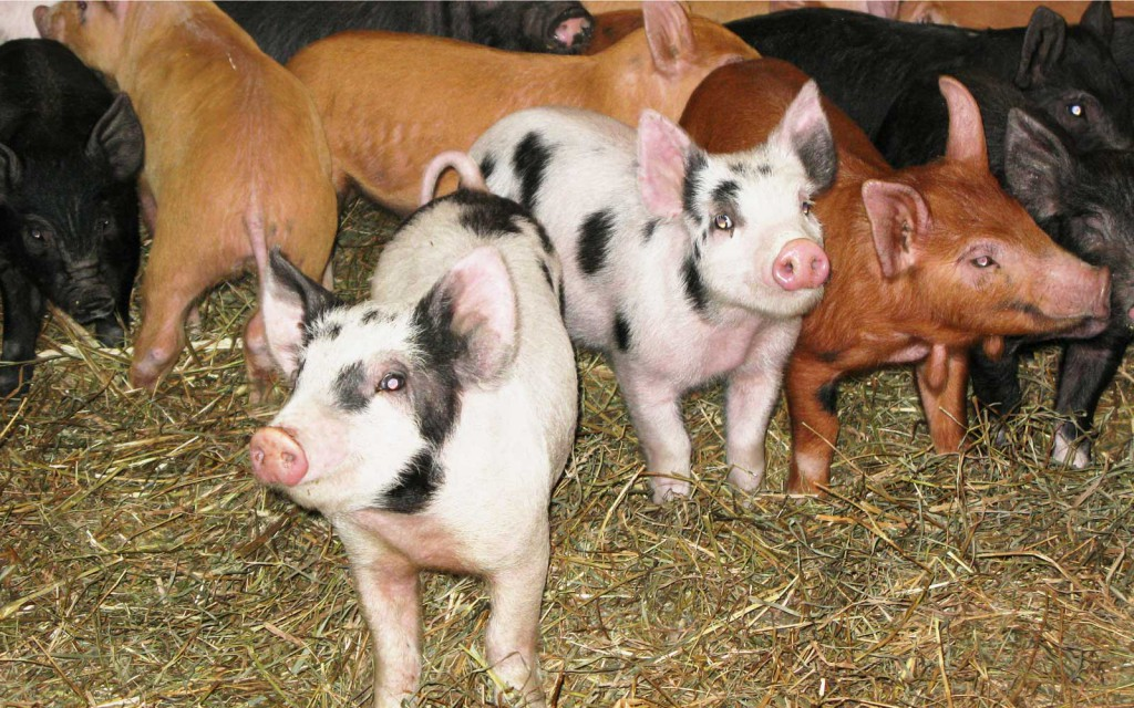vernon valley farm - pasture raised pigs in corral