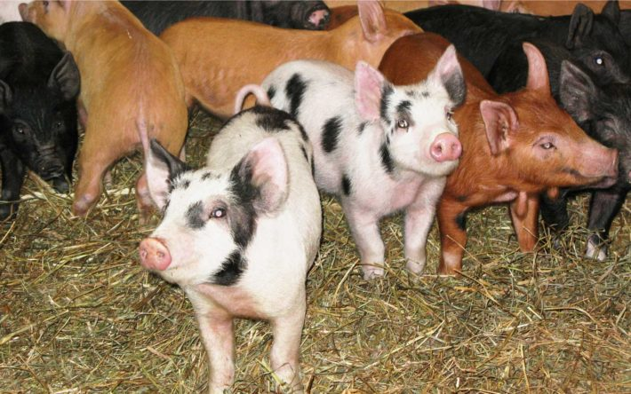 vernon valley farm – pigs