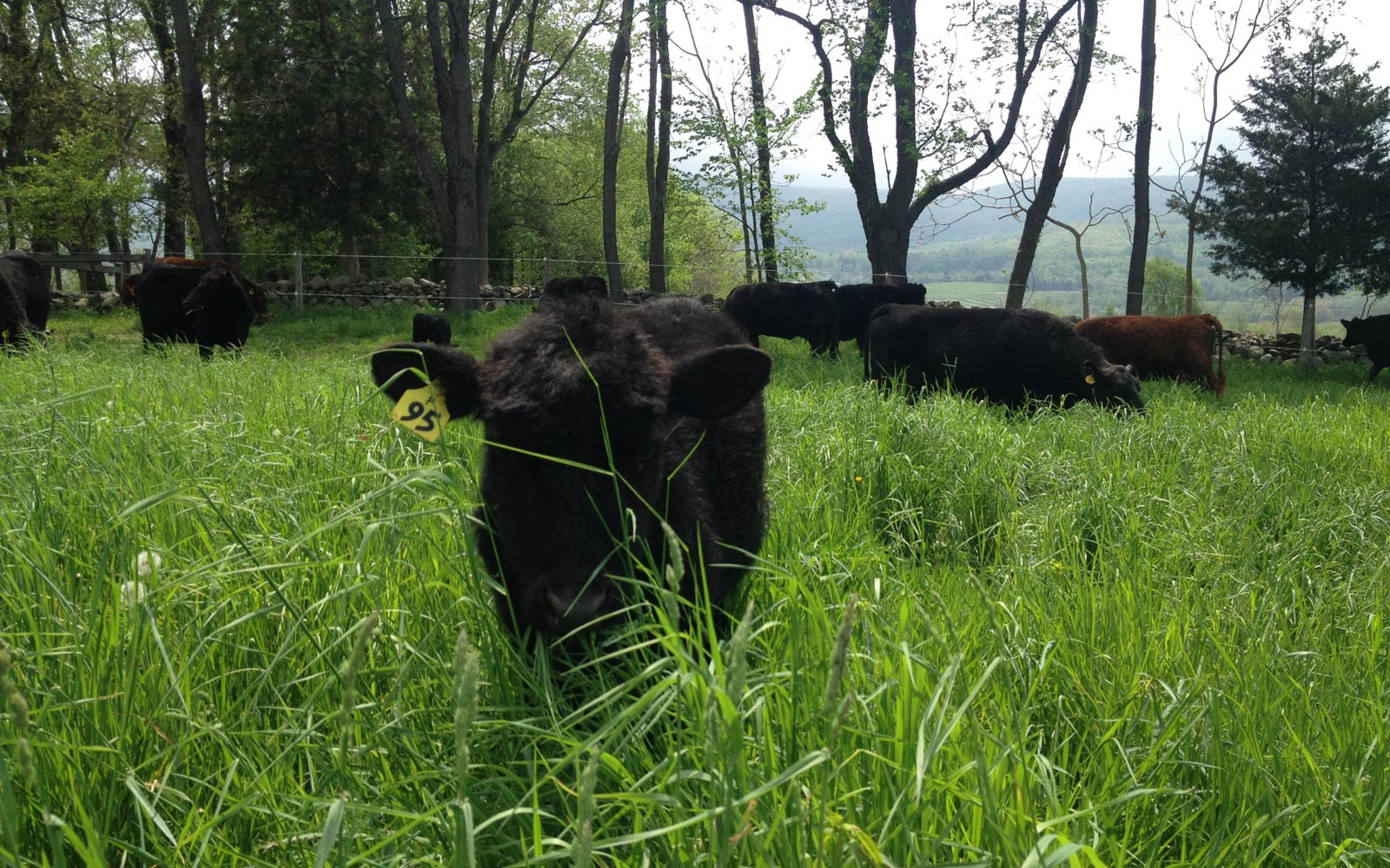 vernon valley farm - single cow eating grass